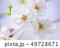 桜 さくら 49728671
