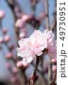 桃 桃の花 ハナモモの写真 49730951