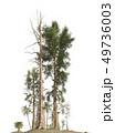 Trees of the mesozoic era isolated on white background 3D illustration 49736003