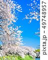 東京 千鳥ヶ淵の桜 49748957