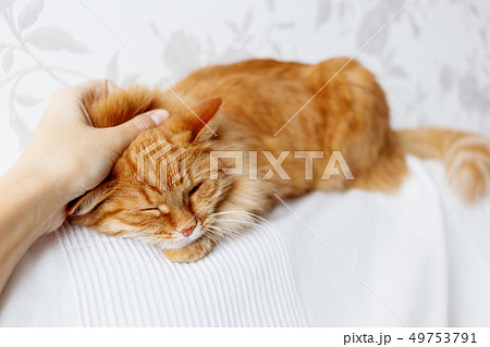 Woman is stroking cute ginger cat on white couch 49753791