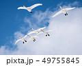 空を飛ぶコハクチョウ 49755845