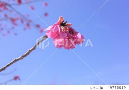 美しく咲くピンク色の桜、梅の花、満開、春の日本、群馬県高崎市 49756019