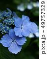 花 植物 紫陽花の写真 49757329