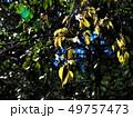 花咲く頃、若葉の山桜 49757473