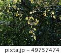花咲く頃、若葉の山桜 49757474