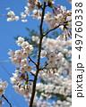 春 桜 花の写真 49760338
