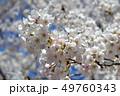春 桜 花の写真 49760343