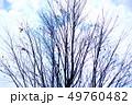 冬の風景 寒空にカツラの裸木 49760482