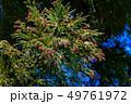杉 木 樹木の写真 49761972