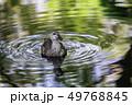 鴨 鳥 池の写真 49768845