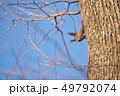 木の幹に現れたエゾリス(北海道) 49792074