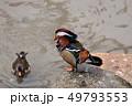オシドリ 鳥 水鳥の写真 49793553
