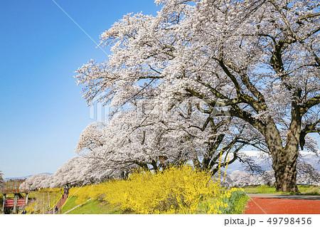 白石川一目千本桜 一目千本桜 桜並木 49798456
