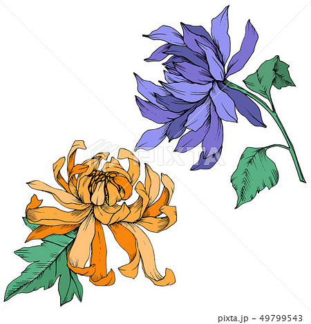 Vector Blue and orange Chrysanthemum floral botanical flowers. Engraved ink art. Isolated flower 49799543