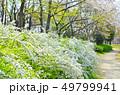 遊歩道 ユキヤナギ 花の写真 49799941