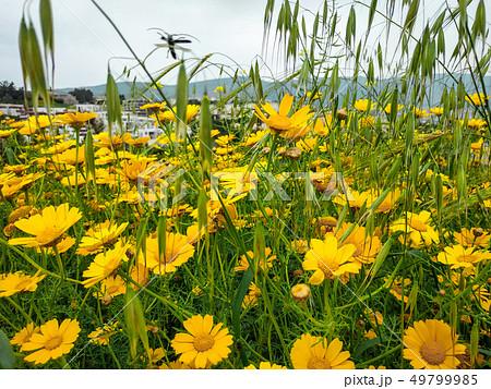 Garland chrysanthemum daisy yellow blooming flowers. Bright landscape background. Grass wildflower 49799985