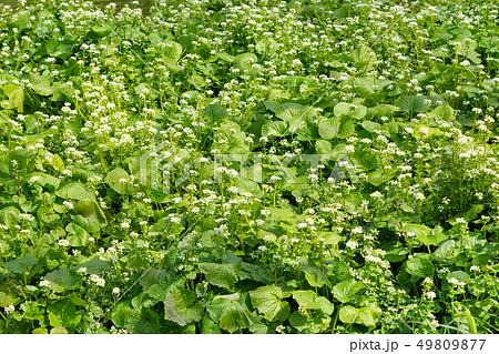 ワサビ畑 49809877
