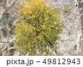ヤドリギ 49812943