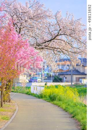 桜と菜の花の並木道 49813692