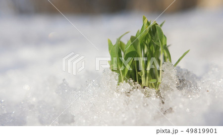 Green sprouts breaking through the snow in a Sunny clear day. Spring concept. 49819901