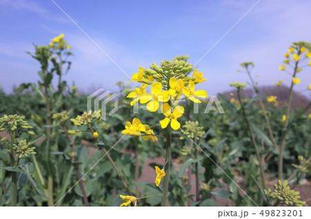 菜の花畑に広がるきれいな菜の花 49823201
