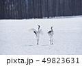 二羽で踊るタンチョウ(北海道・鶴居) 49823631