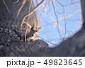 木の幹に現れたエゾリス(北海道) 49823645