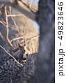 木の幹に現れたエゾリス(北海道) 49823646