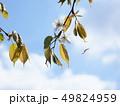 山桜の花と若葉 49824959