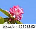 シャクナゲ ピンク 花の写真 49828362
