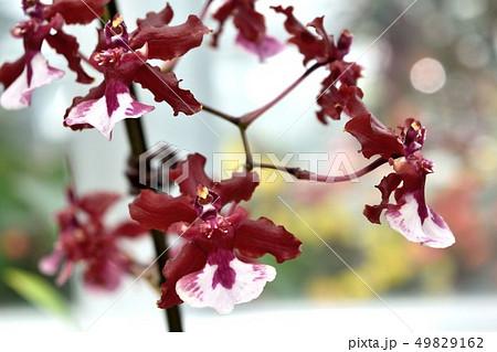 洋蘭オンシジウム 赤い花 49829162