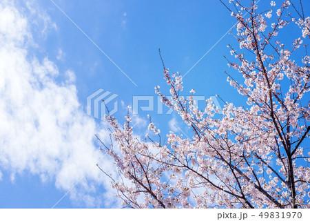 桜の花。 49831970