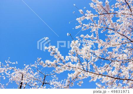 桜の花。日本の象徴的な花木。 49831971