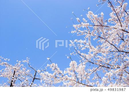 桜の花。日本の象徴的な花木。 49831987