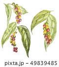 プランツ 植物 胡椒のイラスト 49839485