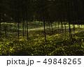 ヒメボタルの乱舞 49848265