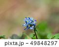 エゾエンゴサク 49848297