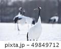 給餌場にたたずむタンチョウの群れ(北海道・鶴居) 49849712