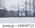 二羽のタンチョウの鳴き交わし(北海道・鶴居) 49849713