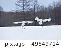 給餌場に舞い降りる丹頂(北海道・鶴居) 49849714