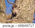 木の幹に現れたエゾリス(北海道) 49849717