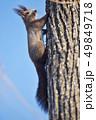 木の幹に現れたエゾリス(北海道) 49849718