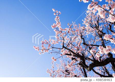 梅の木、梅の花、 49858463