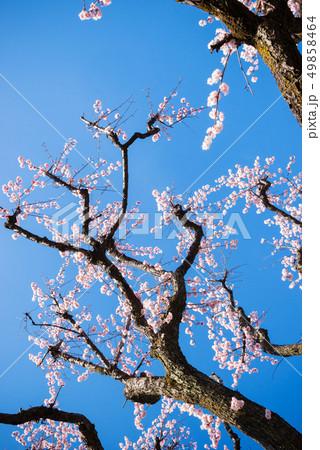 梅の木、梅の花、 49858464