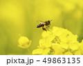 菜の花 日本ミツバチ 蜜蜂 みつばち ミツバチ 二ホンミツバチ 春 季節 生物 49863135