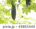 ゴーヤ 植物 食材 苦瓜 緑 夏 栽培 蔓 49863440