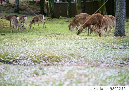 積もる桜と奈良の鹿17 49865255