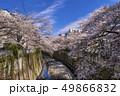 神田川 桜並木 桜の写真 49866832