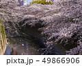 神田川 桜 春の写真 49866906